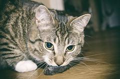 My kill (Arne Kuilman) Tags: home amsterdam night cat dead mouse death kat feline kill floor apex hunter predator caught instinct muis hunted felixdomesticus razul
