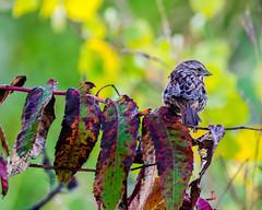 DSC_1109 edited-97 (pattyg24) Tags: horiconmarsh sparrow sumac tamron200500mm wisconsin bird nature plant summer