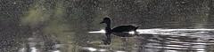 Black Duck in the early morning light (kearneyjoe) Tags: black duck botanical garden stjohns newfoundland