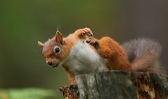 Red Squirrel (Sciurus vulgaris) (Sandra Standbridge.) Tags: redsquirrel sciurusvulgaris outdoor wildandfree scratching mammal animal red feeding durham stump claws cute