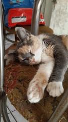 ARTEMISA (Dyanaydyth) Tags: cats chat gatos gatto gatitos siameses ojos azules bebe