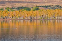 Fall Colors, Colorado (mclcbooks) Tags: lake lakescape landscape reflections trees fall autumn colors gold yellow green colorado chatfieldlakestatepark lakechatfield bird pelican
