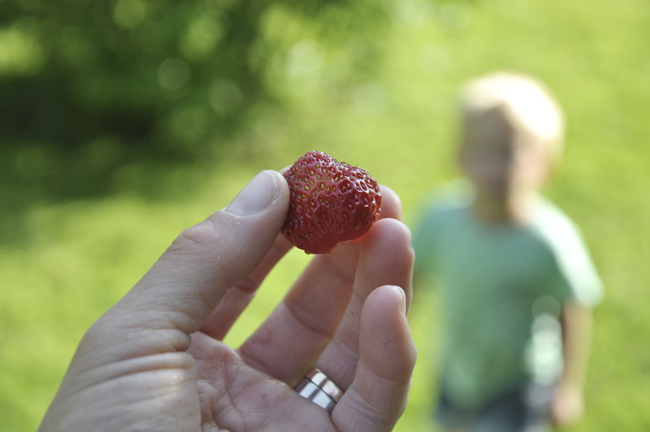 första jordgubben är skördad för i år