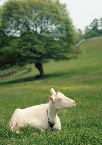白ヤギさん