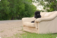 (23.52) Sofafree! (SmartPoodle) Tags: road summer dog black green couch sofa poodle sofafree standardpoodle 50mmf18 52weeksfordogs