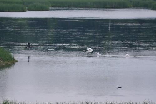 Swan Goose Loon Ducks DSC_4603