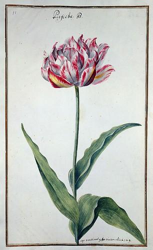 010-tulipan 10-Karlsruher Tulpenbuch - Cod. KS Nische C 13- Badische LandesBibliotheK