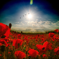 ~ living in a poppy world ~ (~ Pixel Passion ~) Tags: flowers blue trees light sunset red summer sky orange sun white black flower green nature field sunshine birds silhouette yellow clouds landscape evening spring mood moody shine sundown natural dusk meadow atmosphere sunny manipulation lensflare poppy poppies late sunrays atmospheric springlike postprocessing summerbreeze