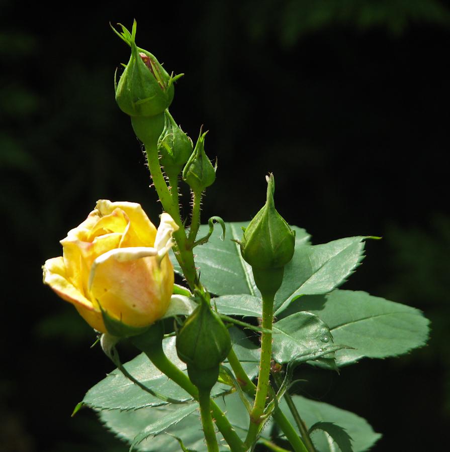 Очень нежный цветок IMG_1716