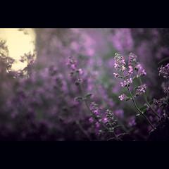 purple dreams (Daniel Sanculi) Tags: gardens nikon 85mm denver botanic f14d d700