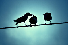Sri Lanka | Negombo (bryenh) Tags: travel sky birds animals nikon asia indianocean places uccelli sri lanka cielo srilanka ceylon crows viaggi animali southasia negombo d90 cornacchie nikond90