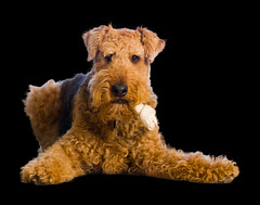 Smoke'em if You Got'em (metadata man) Tags: dog pose poser keegan airedaleterrier chewbone feelingscolour