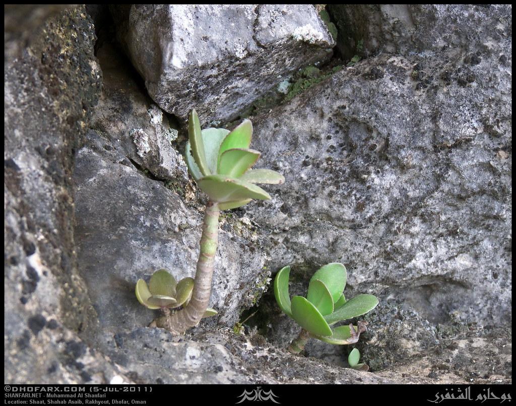 ساجر ظفار، بتاريخ 5-7-2011 5908063485_be72f0aff
