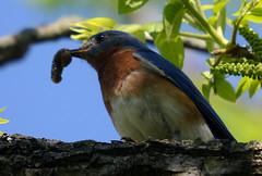Bluebird (lanaganpm) Tags: