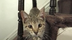 C'mere I gotta tell you something (Jimmy Legs) Tags: street cats kitten tabby calico bushwick eureka adoptable 3monthsold