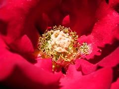 IMG_0356 - cuore di  rosa (molovate) Tags: macro flora rosa natura fiori fiore rosso cuore maggio giardino mese intimo profondorosso polline volate tafme molovate canondigitalixus980is