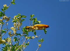 Male Bullock's Oriole (Icterus bullockii) (Photography Through Tania's Eyes) Tags: canada tree bird nature leaves animal fauna photography photo bill pom wings flora nikon photographer bc image britishcolumbia okanagan wildlife branches feathers photograph osoyoos oriole okanaganvalley bullocksoriole icterusbullockii copyrightimage malebullocksoriole nikond7000 taniasimpson haynespointprovinicalpark