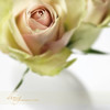 My heart (dhmig) Tags: pink flowers roses stilllife white flower macro rose closeup nikon dof bokeh details softness naturallight vase elegance romanticism 50mmf28 softcolours nikond7000 dhmig dhmigphotography