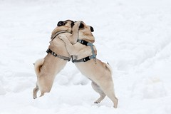 The Pug Waltz II - Close Combat (TheOtherPerspective78) Tags: schnee dog snow playing cute canon puppy fight funny play pug running run hund lustig fighting hunde toben laufen spielen mops carlino welpe welpen tollen ef100400l theotherperspective78
