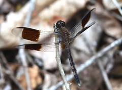 Erythrodiplax umbrata (robertoguerra10) Tags: odonata libellulidae zigzag liblula brown marrom