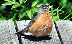 DSC_0321 (rachidH) Tags: birds robin americanrobin turdus merle merledamerique sparta nj rachidh nature oiseaux sun sunbathing