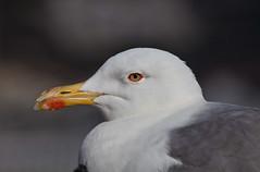 (JOAO DE BARROS) Tags: barros joo seagull portrait animal bird