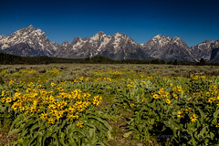 Meadow and Mountains (mghornak) Tags: grandtetonnationalpark grandtetons mountains meadow landscape plant flower canon canoneos5dmarkii