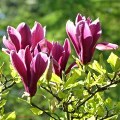 Spring memories. (Cajaflez) Tags: spring voorjaar memories magnolia flower bloem fleur pink roze ngc npc