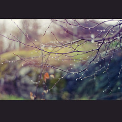 Dark & rainy days (~ Maria ~) Tags: november dark drops dof sweden bokeh branches rainy birch