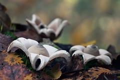 Geastrum sessile (JM Ripoll) Tags: barcelona forest mushrooms spain bosque fungus funghi pilze wald svamp mycology pilz champignons setas fong bosc foresta fungo bolets micologia mikologia onddo mycologie geastrumsessile olzinelles pilzkunde foraoise
