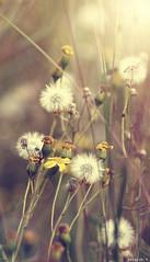 [Day 1] Little Desert Park (Chealse V) Tags: flower nature up canon eos kiss close x3 500d