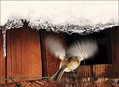 ~~Angel ?~~ (Jolisa) Tags: snow bird nikon hiver neige oiseau ailes pinson mangeoire croquenature