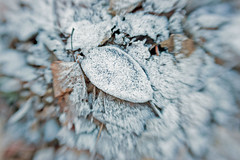 lensbaby, frosted leaves 2 (claires photos 2010) Tags: leaves lensbaby frost frostyleaves
