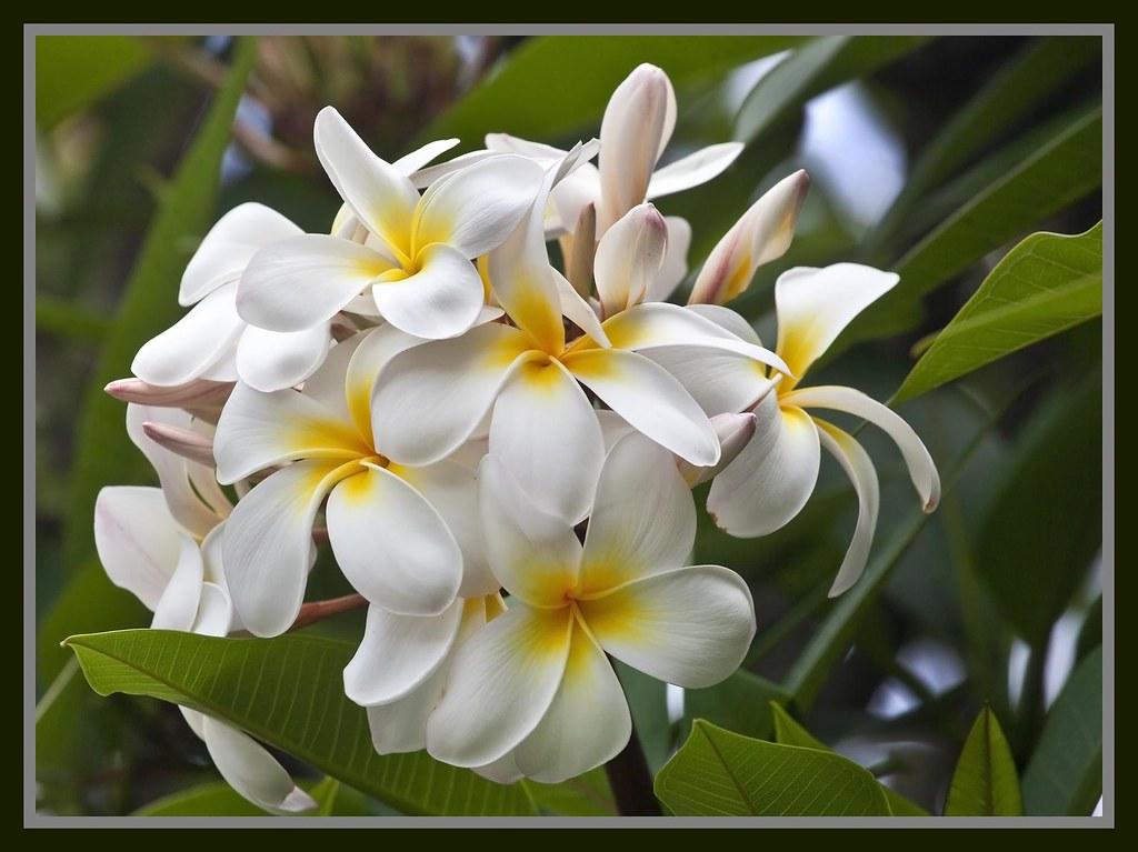 Frangipani White  Yellow-1=