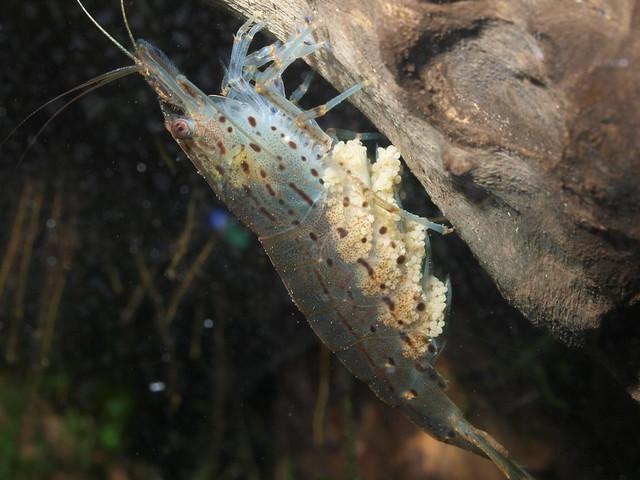 PB304745 大和藻蝦