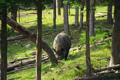 0742 Parc Omega sanglier (Nad.77) Tags: canada quebec parcomega sanglier montebello