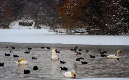 Chilham in the snow ~ swans & moorhens