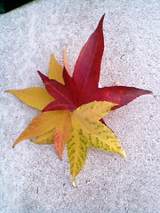 Early Christmas Star ..! - Moby-CNV00022 c (Erniebobble *!!*) Tags: christmas pink winter red orange white holiday abstract green london art fall nature beauty leaves rose yellow festival rock stone contrast festive logo happy fire gold grey star golden leaf perfect soft pattern glow colours bright image decay wildlife watch decoration firework noel christian ephemera celebration bbc harmony balance vein blaze cp shape fleeting celebrate decorate brilliant starry tranquil aura ephemeral aw yinandyang gentle russet 2010 hopeful interpretation harmonious illuminating abscission e1w unsprung winterwatch erniebobble