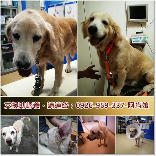 「助認養推」從新屋收容所救出黃金獵犬X2,拉布拉多X2,需要中途支援助認養,隨手幫忙轉PO也是非常重要~謝謝您!20101209