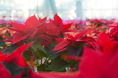 Christmas Poinsettia, Staplehurst (flatworldsedge) Tags: christmas red plants sunlight painterly green glass kent chaos dof bokeh nursery poinsettia greenhouse nochebuena staplehurst euphorbiapulcherrima explored