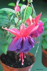 Fuchsia 'Purple Heart' (pennyeast) Tags: flower botanical fuchsia capetown papaalphaecho