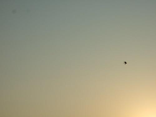 Peregrine Falcon Soaring Above
