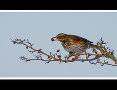 Redwing with berry.... (Levels Nature) Tags: