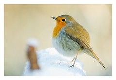 Rouge-gorge en neige, Robin I. (Zed The Dragon) Tags: wild bird robin speed french geotagged rouge effects photography photo flickr view minolta photos sony images robins best full fave most frame getty faves gorge 100 fullframe alpha antony animaux parc postproduction franais sal zed gettyimages oiseaux francais sceaux lightroom effets mostviews parcdesceaux favoris 24x36 a850 sonyalpha concordians platinumheartaward 100commentgroup parcsceaux dslra850 alpha850 zedthedragon 100coms minoltaapo80200hs
