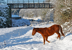 Pony in the Snow (dundrodkeith) Tags: camera bridge ireland winter horse sun white snow water race reflections river frost pony mile antrim race water muckamore trail northern ireland club six mill antrim