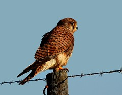 Peneireiro-comum | Common Kestrel  (Falco tinnunculus) (Rosa Gamboias/ on vacation) Tags: naturaleza portugal nature birds animals fauna wildlife natureza birding natura aves uccelli animais birdwatching oiseaux avifauna falcotinnunculus commonkestrel vidaselvagem ornitologia pontadaerva fotgrafosportugueses peneireirocomum rosagambias vidaselvagememportugal