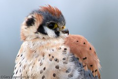 American Kestrel (Garebear400) Tags: wild bird nikon kestrel nwr d300 ridgefield fantasticnature birdperfect mothernaturesgreenearth