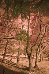 Winter Woods In Infrared (aeschylus18917) Tags: trees tree nature japan forest landscape ir woods nikon scenery d70 nikond70 surreal infrared  saitama nikkor 1870mm hanno f3545g saitamaken 1870    1870f3545g saitamaprefecture d700  nikkor1870f3545g danielruyle aeschylus18917 danruyle druyle   1870mmf3545gifdx  hann hannshi nikkor1870f3545gdx