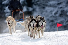 Sled dog race - Course de traineaux  chiens (My Planet Experience) Tags: winter dog chien snow animal alaska race husky hiver ak course malamute neige siberian musher sled snowdog groenland esquimau sleddograce traneau maudre samoyede chiendetraineau coursetraneauchien