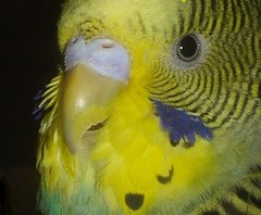 Parakeet Closeup (KoolPix) Tags: bird nature animal beak feathers parakeet dailynaturetnc13 wcswebsite photocontesttnc14 dailynaturetnc14